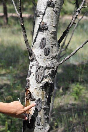 Florissant, Colorado: Dark spots on the aspen trees show where deer and elk have eaten the bark.