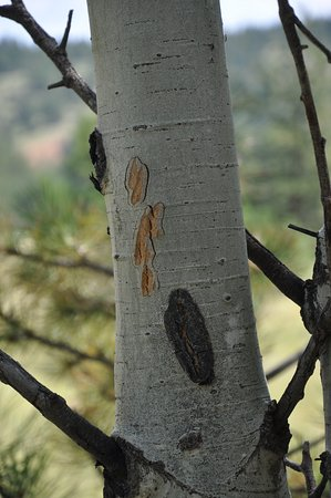 Florissant, Colorado: Light colored scratch marks are from a bear.