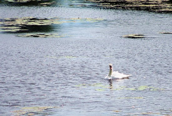 Island Park & Wildlife Sanctuary: Swan