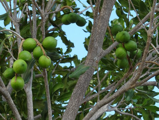 Kawaihae, ฮาวาย: Nut trees outside the building