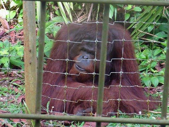 Semanggol, Malasia: 目の前で大きなオランウータンに出会える