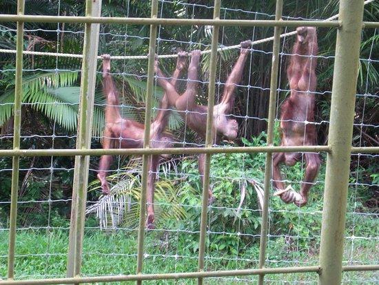 Semanggol, ماليزيا: このような光景は珍しいそうです