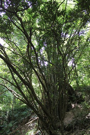 St. Kitts and Nevis: 80-foot bamboo in the rain forest