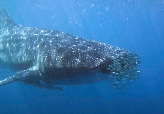 Kings Ningaloo Reef Tours Exmouth: Whale shark seen during the trip