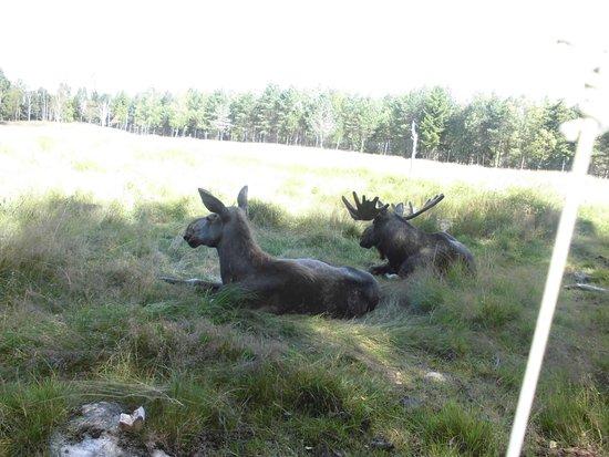 Kosta, Sverige: Grönåsens Älgpark / Elchpark