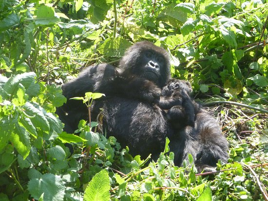 Kigali Province, Rwanda : mother gorilla in volcanoes national park with baby of about 3 weeks old