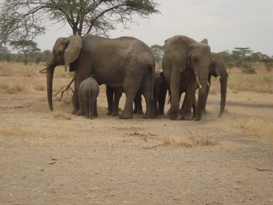 Arusha Region, Τανζανία: elephants at Tarangire national park