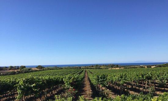 La Muddizza, Ιταλία: Ecco il nostro bellissimo vigneto. Here our beautiful vineyard.