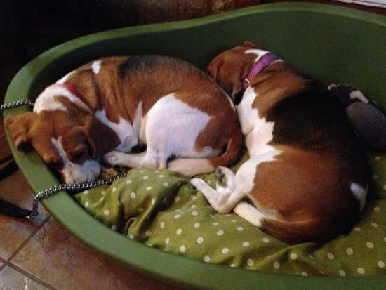 Best Two Beagle Adorable Dog - the-two-adorable-beagles  2018_383466  .jpg