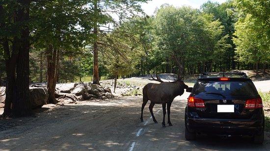 Montebello, Canadá: Elk