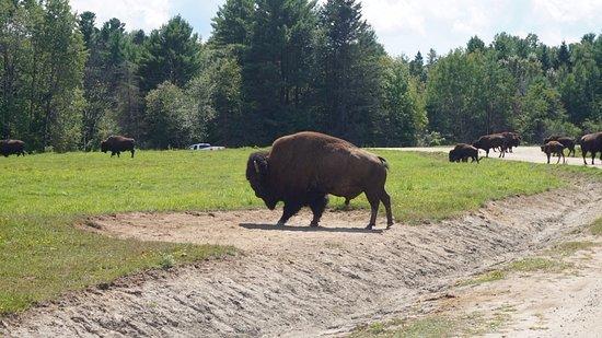 Montebello, Canadá: Buffalo