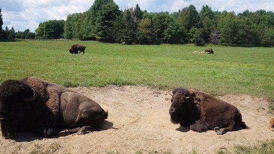 Montebello, Canadá: Buffalos