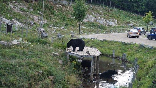 Montebello, Canadá: Black bear