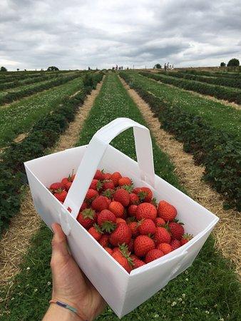 Corbridge, UK: Pick-your-own Strawberries
