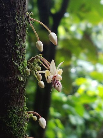 Rainforest Chocolate Tour: Cacao flowers