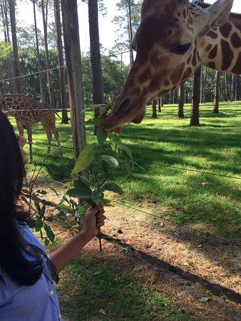 Yulee, FL: Me feeding a Giraffe