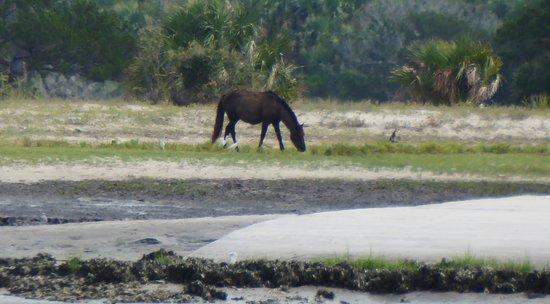 Fernandina Beach, FL: wild horseon Cumberland