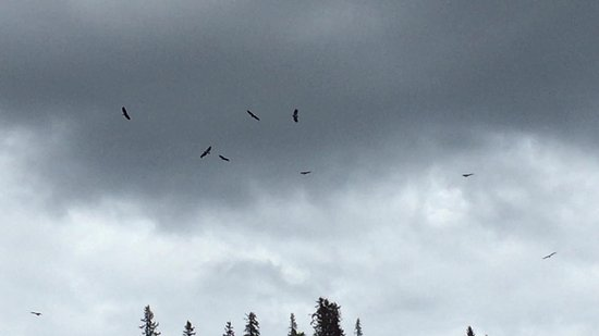 Talkeetna River Guides - Day Trips: about a dozen bald eagles