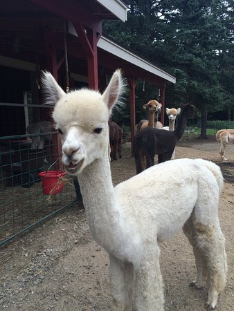 Cape Newagen Alpaca Farm