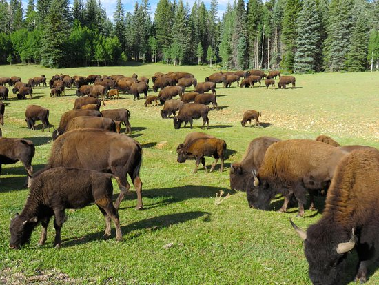 Kaibab National Forest: Herds of buffalo