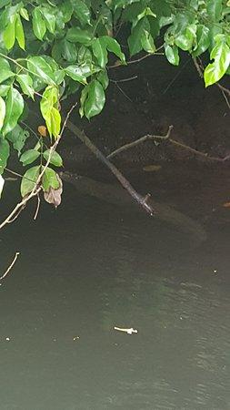 Copa de Arbol Beach and Rainforest Resort: baby croc
