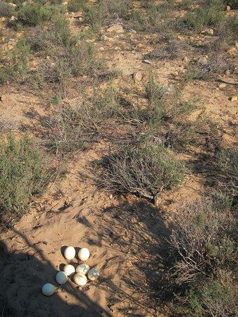 วุร์สเตอร์, แอฟริกาใต้: Driver harassed the Ostrich by revving engine beside nest so it would leave. (Truck shadow visib