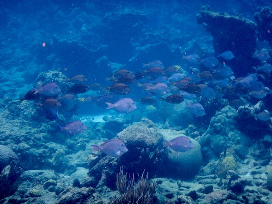 Christiansted, St. Croix: Blue Tangs galore can be seen snorkeling the underwater trail.