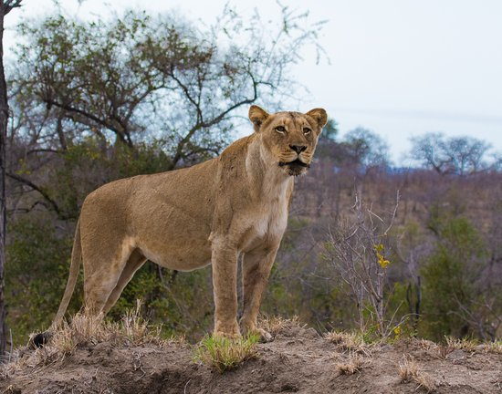 Lion Sands River Lodge: Game drive photo trophy