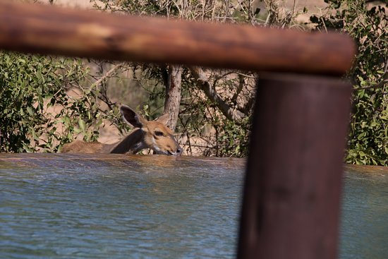 Lion Sands River Lodge: Sharing the pool with the locals