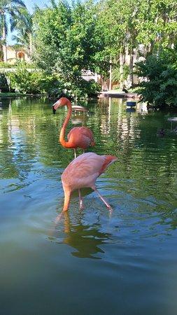 Bayahibe, Dominikana: Jardín; Flamencos Rosa
