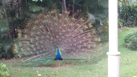 Bayahibe, République dominicaine : Jardín; Pavo real en pleno cortejo.