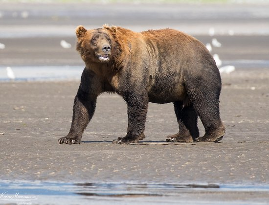 Alaska Bear Adventures: Large male Brown Bear