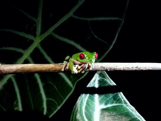 Drake Bay, Costa Rica: Red-eyed leaf frog photo #4,287