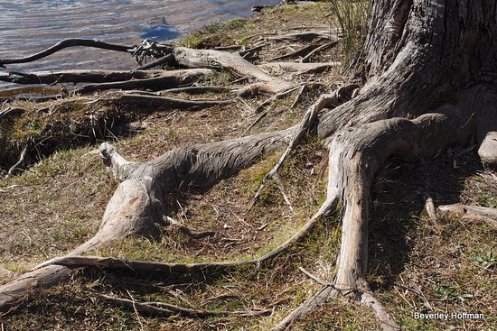 Wentworth Falls, Australien: I loved the root system of the tree.