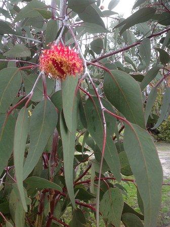 Mountain View Motor Inn & Holiday Lodge: Flowering gum