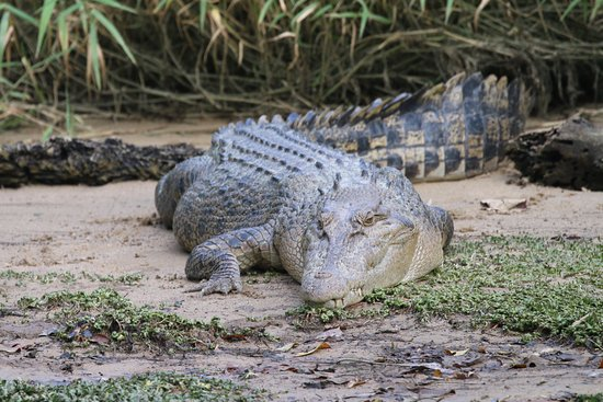 Estuarine or Saltwater Crocodile, Daintree River cruise