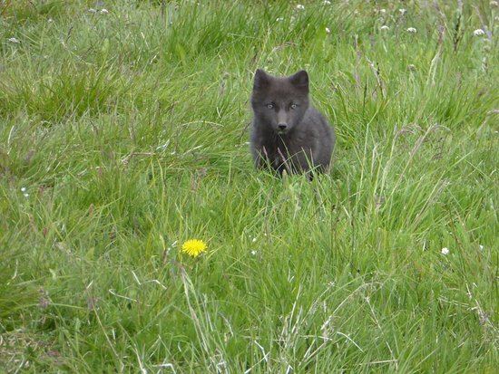 Blonduos, أيسلندا: Un petit renard polaire