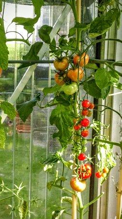 Wilderswil, Suiza: Gabis Tomaten.