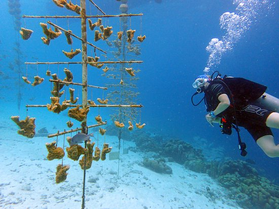 Buddy Dive: Taking a look at the Buddy Reef coral restoration nursery