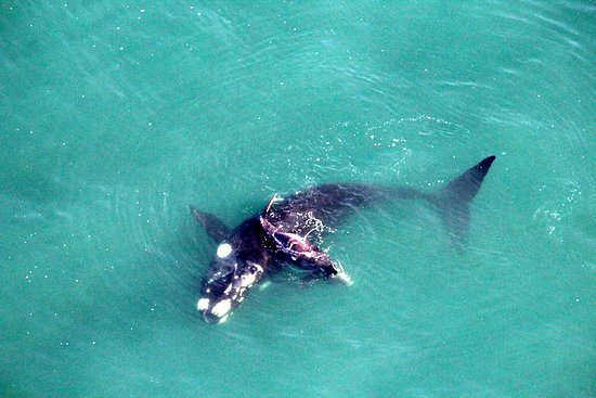 Stanford, Zuid-Afrika: Southern Right Whale - mom & baby