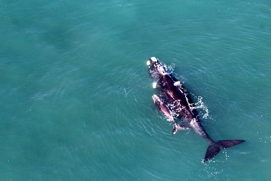 Stanford, Sør-Afrika: Southern Right Whale - mom & baby