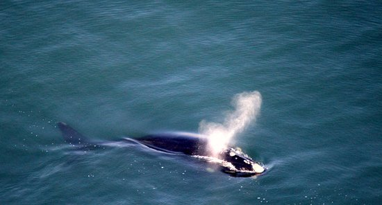 Stanford, Sør-Afrika: Southern Right Whale