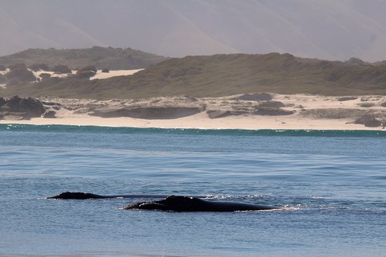 Gansbaai, Sudáfrica: Southern Right Whales