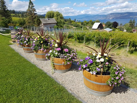 Summerhill Winery: Neatly arrayed wine barrels bursting with colourful flowers.
