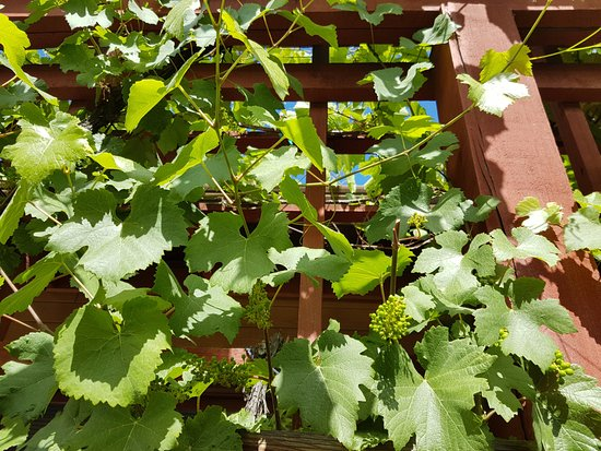 Summerhill Winery: Grape berries on grapevine.