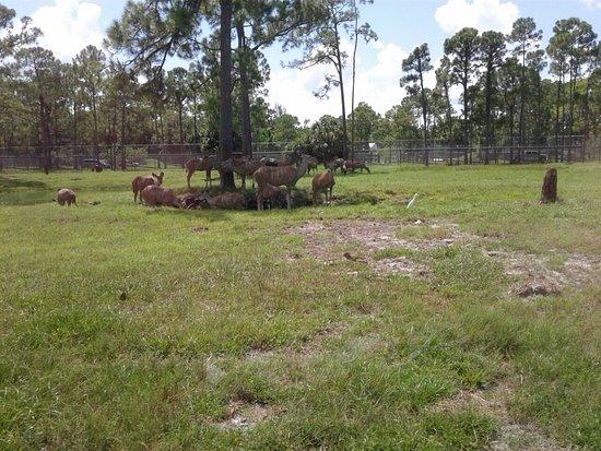 Loxahatchee, FL: Beautiful dears