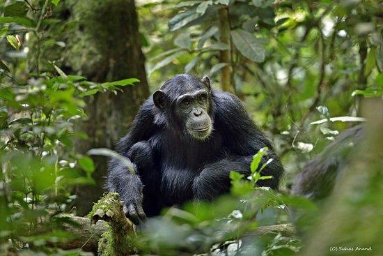 Kibale National Park: one of the oldest females (syafi - tbc)