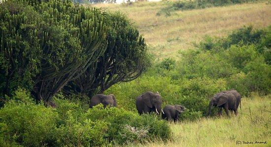Kasese, Uganda: elephants next to euphorbia candelabra