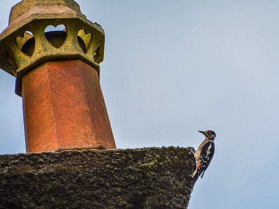 Eskdale, UK: Woodpecker attacking the chimney!