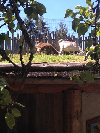 The famous goats that bring people to Coombs.